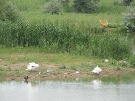familie van witte dieren ganzen gaan water drinken uit de vijver foto