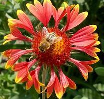 gevleugelde bij vliegt langzaam naar de plant, verzamelt nectar voor honing op privé bijenstal foto