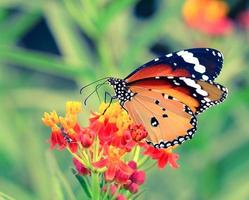 vlinder op oranje bloem foto