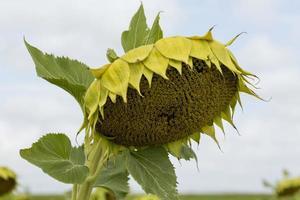 detail van zonnebloemen in de provincie Valladolid, Castilla y Leon, Spanjeon foto