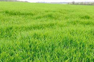 gebied van verse groene grastextuur als achtergrond foto
