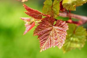 mooi blad van druiven in de zomertuin tegen de achtergrond van groene planten foto