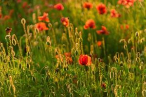 mooie rode klaprozen in defocus op een prachtig zomers groen veld foto
