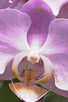close-up orchideebloem voor achtergrond foto
