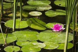 Japanse lotus in het meer foto