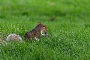 eekhoorns spelen in het park juli 2019 foto