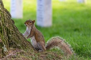 eekhoorn in het park foto