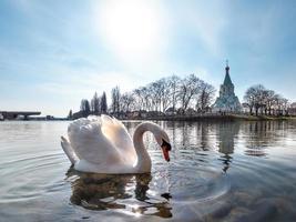 een elegante witte zwaan op het water van de rivier foto