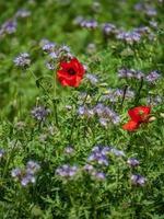bloeiende klaprozen in de velden met lila bloemen foto