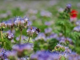 lila bloemen en hommels foto