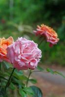 een close-up foto van een roos in twee kleuren, oranje en roze
