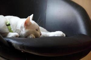 luie witte kat foto