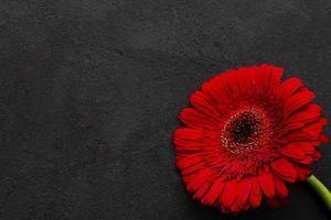 heldere gerberabloem op zwarte achtergrond foto