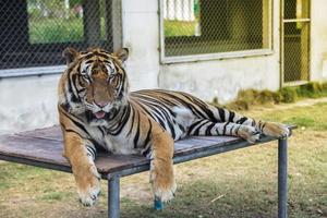 tijger in de dierentuin foto