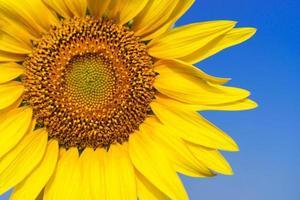 close-up van mooie zonnebloembloesem op blauwe hemel foto