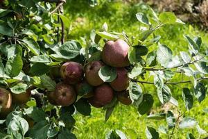 appeloogst in het oude land hamburg foto