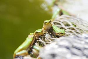 groene kikkers bij het meer foto