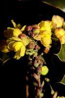 bloem bloesem geel berberis aquifolium familie berberidaceae closeup foto