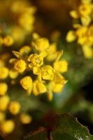 bloem bloesem berberis aquifolium familie berberidaceae close-up afdrukken foto