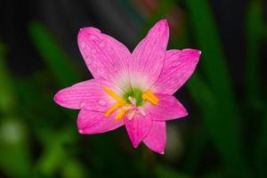 roze regenlelie, een veel voorkomende bloem in tuinen in rio de janeiro foto