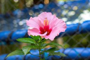 roze hibiscus met groene bladeren foto