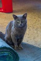 chartreux kat met groene ogen zittend op een kleed op de vloer foto