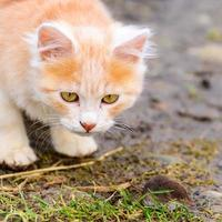 gember en wit katje met zijn prooi van een muis foto
