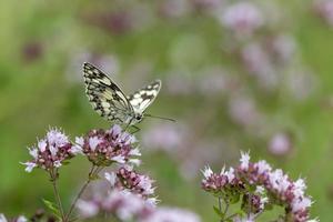 zwart wit vlinderdambord zittend op een marjoleinbloesem foto