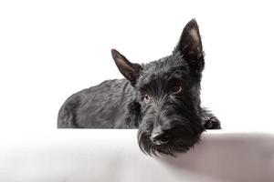 zwarte Schotse terriër puppy op een witte achtergrond foto
