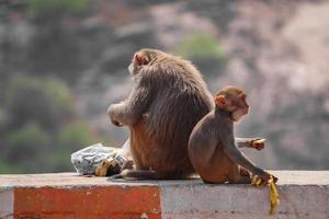 rhesus makaak aap, aap zittend op de muur, banaan etend foto