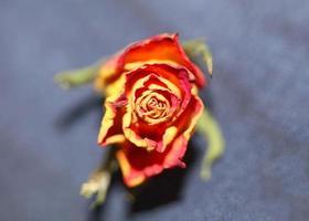 rosa bloem close-up achtergrond familie rosaceae modern foto