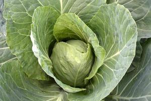 witte kool. grote groene koolbladeren worden ingerold foto