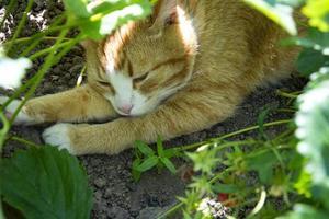 een gemberkat verstopt zich voor de hitte onder het gebladerte van een aardbei foto