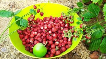 de aardbeien worden verzameld in een kom. aardbeien oogsten foto