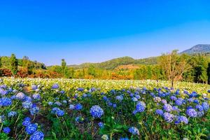 bloeiende blauwe hortensia's bloemen in de tuin. foto