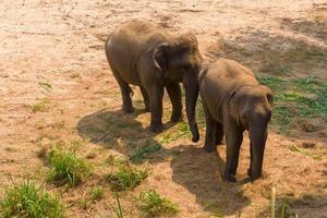 Aziatische olifant het is een groot zoogdier big foto