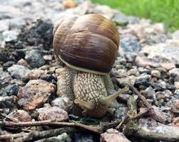 kleine tuinslak in schelp kruipend op natte weg, slak schiet op naar huis foto