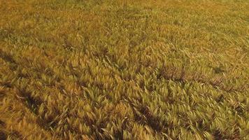 velden van tarwe aan het einde van de zomer volledig rijp foto