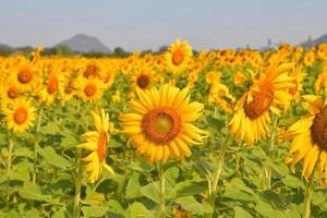 zonnebloemen bloeien in de tuin foto