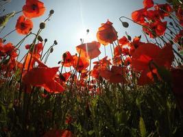 vroege ochtend rode papaverveld scène. klaprozen in het veld foto
