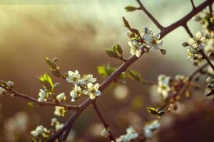 kersenbloesem in het voorjaar voor achtergrond of kopieer ruimte voor tekst foto