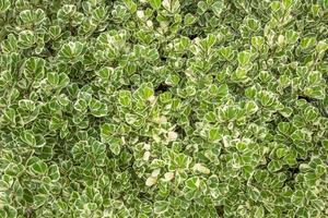 groene blad textuur. blad textuur achtergrond foto
