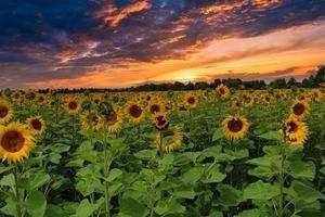 een veld met zonnebloemen foto