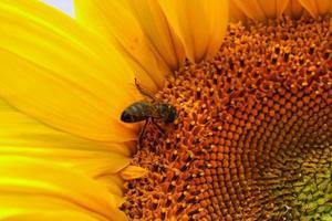 bloeiende zonnebloem op een Beiers veld foto