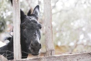 zwarte ezel achter een hek foto