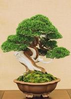 bonsaiboom op gele achtergrond foto