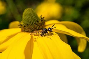 de insecten verzamelen stuifmeel in de tuin foto