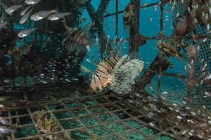 koraalduivel in de rode zee kleurrijke vissen, eilat israël foto