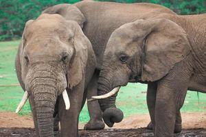 Afrikaanse olifanten in Zuid-Afrika, olifanten van Zuid-Afrika foto