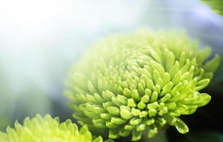 groene dahlia in zonlicht foto